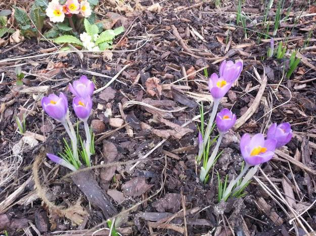 Crocuses flowering in the front garden - 15 Feb 2015