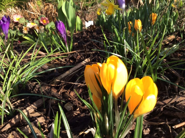 Crocuses and primulas - 10 March 2015