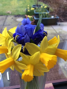 Tête a tête daffodils and mini iris - 16th March 2015