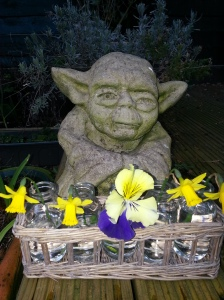 Daffodils, mini milkbottles a pansy and Yoda too
