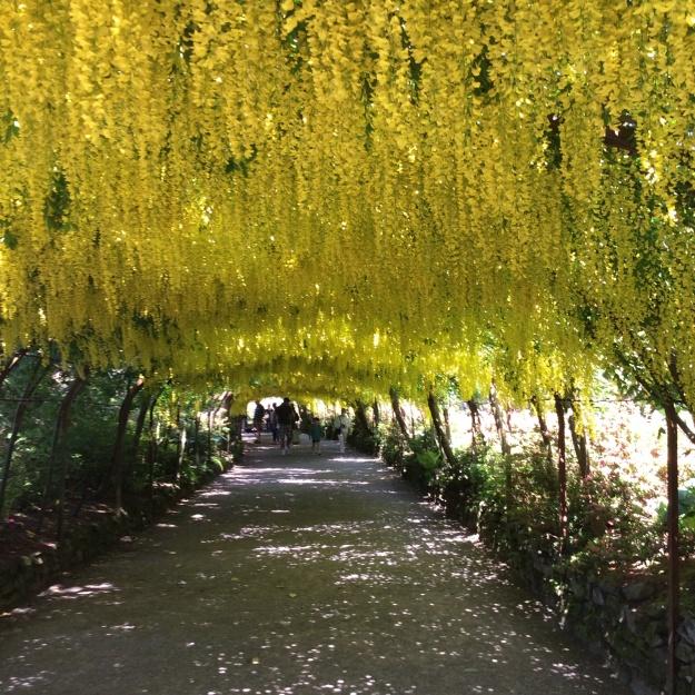 Laburnum Arch - Bodnant Garden, N Wales