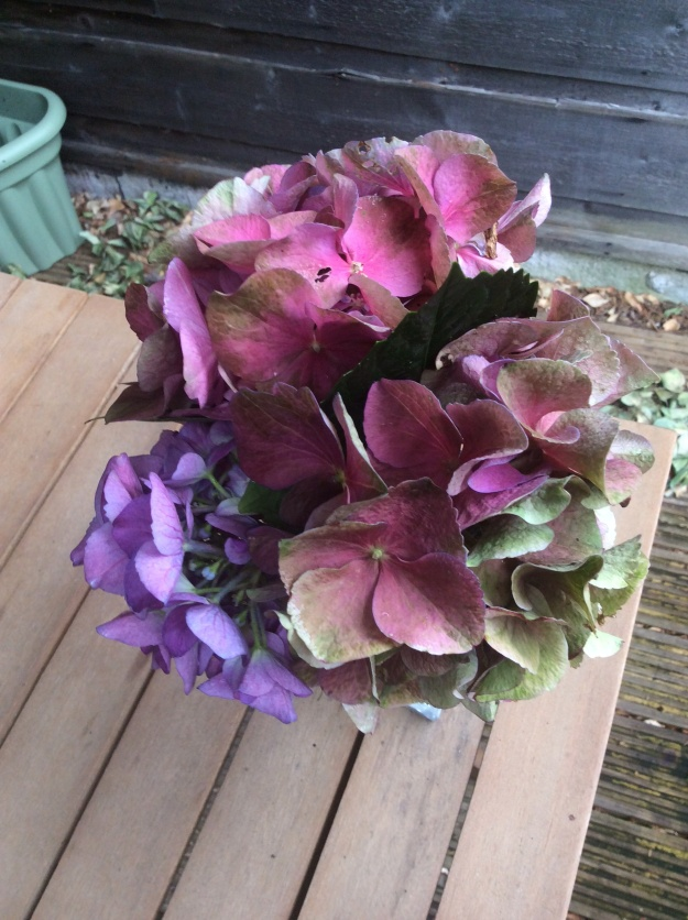 three hydrangea blue - three blooms in pink - 13 July 2015