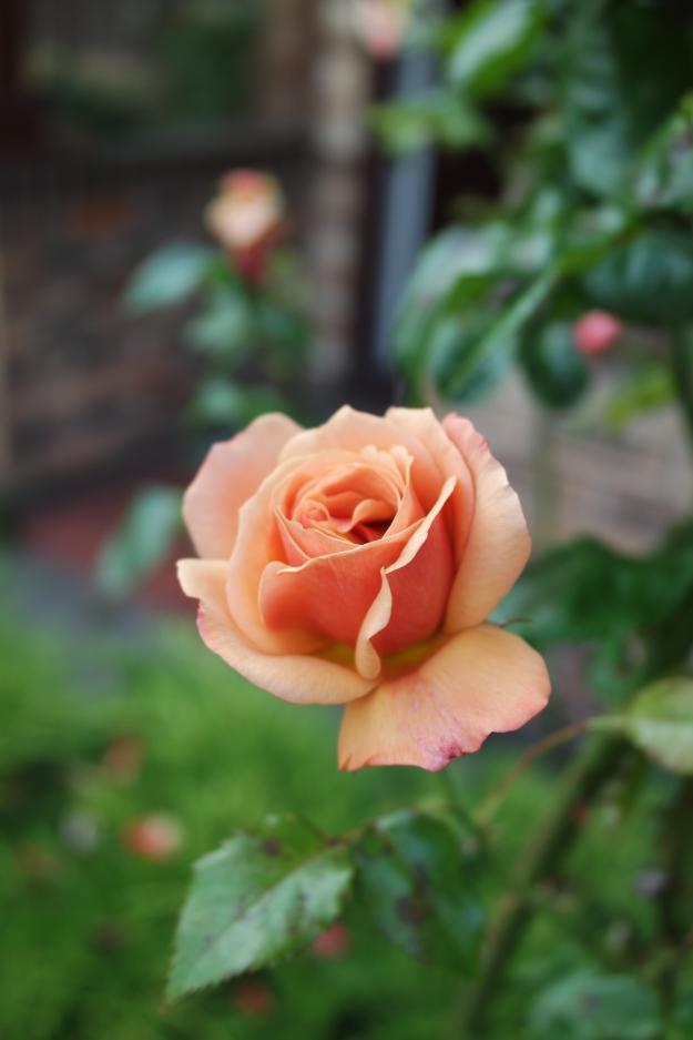 rose bud - 10 August 2015