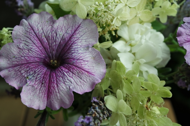 Hydrangea, petunia, pelargonium and lavender - Close up 18 August 2015