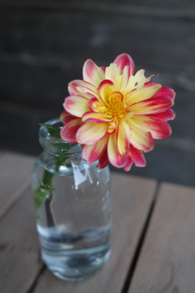 mini red yellow dahlia milkbottle #100dayshappy
