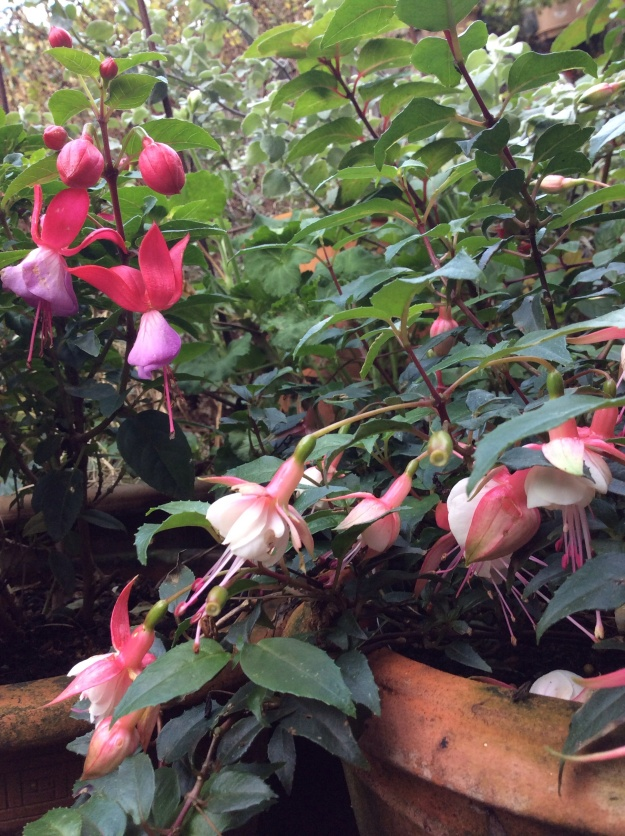 fuchsias STILL flowering