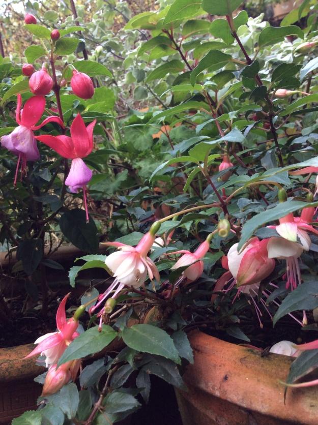 fuchsias STILL flowering