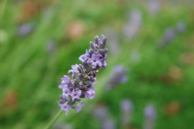 35/100 lavender - everlasting love #lovewins #jesuisParisienne