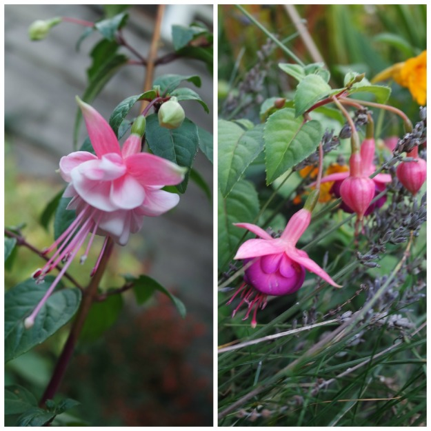 hardy fuchsias were flowering into November 2015
