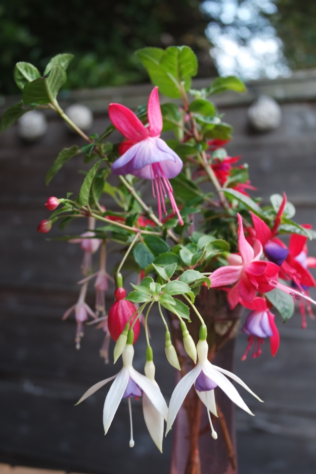 hardy fuchsias still flowering - 12 December 2015