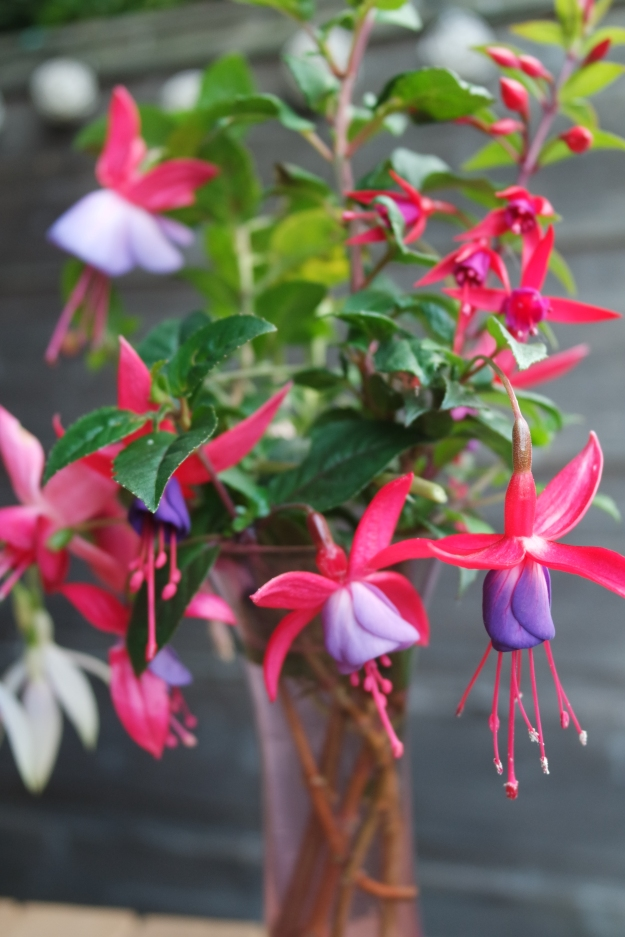 Hardy fuchsias still flowering 12 December 2015