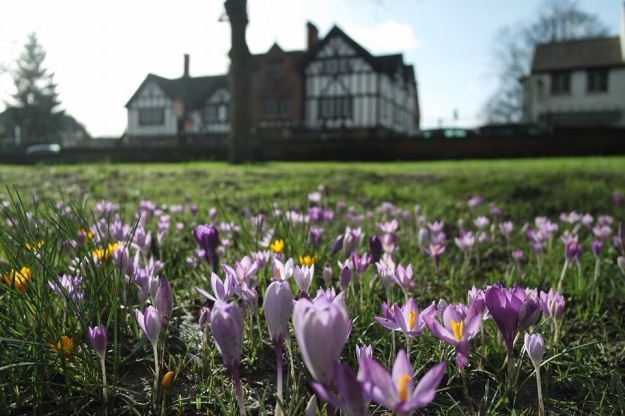 Crocus field at the Bridgewater Canal, Worsley, Salford