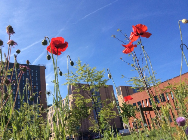 Red poppies blue skies