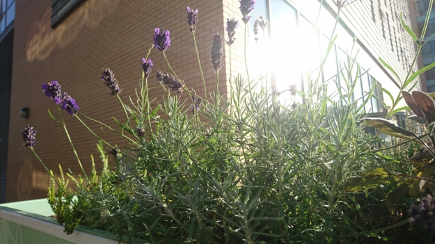 lavender and sage in a container with sunshine reflected in the windows