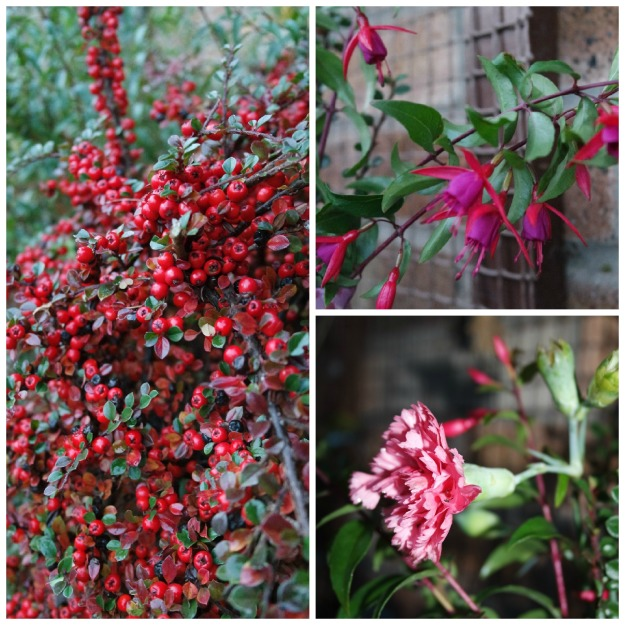 21 Nov 2016 - cotoneaster, hardy fuchsia and pink dianthus