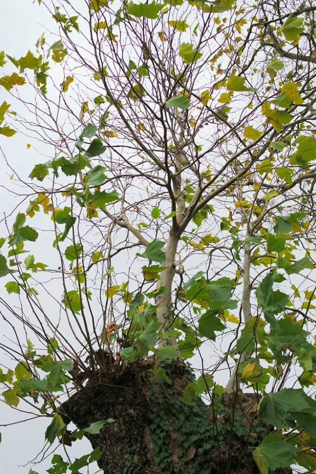 sycamore tree with regrowth after felling - copyright R Jones Nov 2016